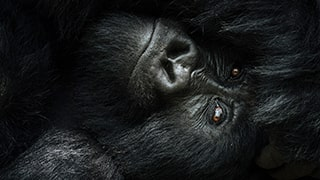 Chris-Schmid-Uganda-gorilla-close-up_680x438